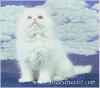 Virginia Doll Face Persian CT Doll Face Persian Kitten For Sale